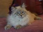 Фото в Кошки и котята Продажа кошек и котят Питомник Великий Охотник предлагает невского в Москве 0