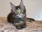 Фотография в Кошки и котята Продажа кошек и котят Котята Мейн Кун от титулованных производителей. в Москве 25000