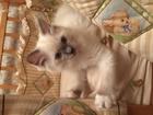 Фотография в Кошки и котята Продажа кошек и котят Редкая порода кошек- рэгдолл или тряпичная в Москве 45000