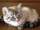 Фото в Кошки и котята Продажа кошек и котят Пропал кот тайский метис в августе 2016 года в Москве 0