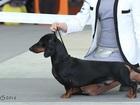 Новое изображение Вязка собак Кобель таксы стандартной г/ш для вязки, Титулованный 38446728 в Москве