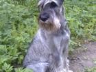 Фотография в Собаки и щенки Вязка собак Кобель с родословной, образованный, 3 года в Сергиев Посаде 0