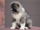 Фото в Собаки и щенки Продажа собак, щенков Предлгается к продаже перспективная девочка, в Москве 50000