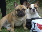 Фотография в Собаки и щенки Продажа собак, щенков Предлагаются к резервированию и дальнейшей в Москве 50000