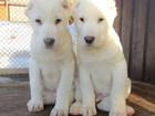Изображение в Собаки и щенки Продажа собак, щенков Питомник от Рюрикова подворья предлагает в Москве 20000