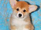 Фотография в Собаки и щенки Продажа собак, щенков Племенной питомник  Эльфборг предлагает в Москве 0