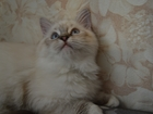 Фото в   Продается котик породы регдолл, возраст 4 в Москве 40000