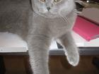 Фото в Кошки и котята Вязка Красавец Скоттиш Фолд ищет скоттишш СТРАЙТ в Москве 0
