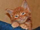 Изображение в Кошки и котята Продажа кошек и котят Роскошная шубка, мощный костяк, толстолапые, в Москве 35000