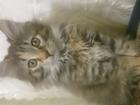 Изображение в   Кошечка Мейн-Кун родилась 25. 11. 16. Бусинка в Лосино-Петровском 8000