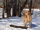 Фотография в Собаки и щенки Вязка собак Лабрадор Ронни ищет невесту для здоровья. в Москве 0