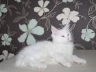 Фотография в   Продаются котята породы мейнкун 12 нед. от в Москве 0