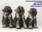 Изображение в Собаки и щенки Продажа собак, щенков Щенки миттельшнауцера (РКФ), окрас перец в Москве 0