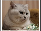 Фотография в Кошки и котята Вязка Предлагаем для вязки- Британского, клубного в Москве 2500