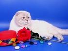 Уникальное фото Вязка Вязка: Шотландский вислоухий(скоттиш фолд) кот-Чемпион 38629550 в Москве