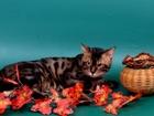 Фотография в Кошки и котята Вязка Предлагаем для вязки-Бенгальского клубного в Москве 2500