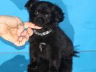 Фото в Собаки и щенки Продажа собак, щенков Самая нарядная крошка с чудесным характером. в Москве 35000