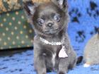 Изображение в Собаки и щенки Продажа собак, щенков Сонечка, голубая чихуа. 2 мес. Обаятельная в Москве 55000