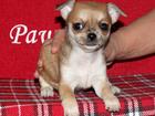 Изображение в Собаки и щенки Продажа собак, щенков Бетти Роз Яркая красавица с выразительными в Москве 25000