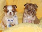 Изображение в Собаки и щенки Продажа собак, щенков Шикарные цветнички.   В продаже красивые в Москве 55000