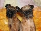 Фото в Собаки и щенки Продажа собак, щенков Мальчик и девочка брюссейский гриффон, с в Москве 20000