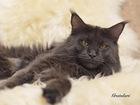Изображение в Кошки и котята Вязка Кот Мейн-кун из монопородного питомника Gratulari в Москве 10000
