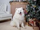 Фото в Собаки и щенки Вязка собак Белоснежный Авангард Арктики Саян Батый Бай в Москве 0