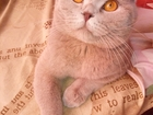 Фотография в   Ждем вас на вязку, коту больше года, прошел в Краснодаре 1500