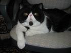 Изображение в Кошки и котята Вязка Экзотический кот, домашний, привитый, из в Москве 1