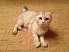 Изображение в   Ищем кота, желательно британца.   Кошечка в Москве 0