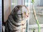 Foto в   Ищем кошечку на Вязку, кот шотландец вислоухий в Люберцы 2000