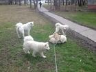 Фотография в Собаки и щенки Вязка собак Дизель. 4года. РКФ. Титулы: CW САС ЛК ЧФ в Москве 100
