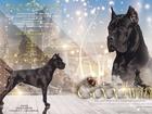 Увидеть фото Вязка собак Высокопородный и титулованный кобель Кане Корсо, чисто чёрного окраса (РКФ), открыт для вязок, 39157375 в Москве