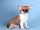 Изображение в Собаки и щенки Продажа собак, щенков Очень яркий малыш с выразительной мордочкой, в Москве 15000