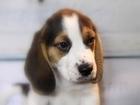 Фото в Собаки и щенки Продажа собак, щенков Продаются щенки бигля. 3 мальчика и девочка. в Москве 50000