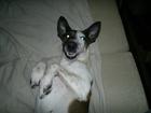 Скачать бесплатно фотографию Вязка собак девочка фокс терьер ищет срочно мальчика для вязки! 39396573 в Москве