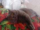 Свежее фотографию Вязка кошек Вязка Шотландский красавец на вязку, Проверен по потомству 39717674 в Москве