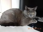 Уникальное фотографию Вязка кошек Красивый опытный кот гладкошерстный полубританец, 3 года 39840079 в Москве