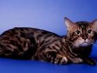Смотреть foto  Бенгальский красавец кот-вязка 40450177 в Москве