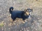 Новое фото  Очаровательный щенок Боря в добрые руки, 45218015 в Москве