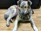 Скачать изображение  Пёс Тигр ищет старых или новых хозяев 49817532 в Москве