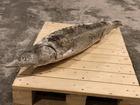 Смотреть фото  Северная рыба оптом, Муксун, нельма, омуль, осётр, сиг, ряпушка, налим, чир в Москве с доставкой по всей России, 52908644 в Москве