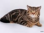 Уникальное изображение Вязка кошек Шотландский прямоухий кот вязка 53135112 в Москве