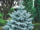 Скачать фото Растения Продаю саженцы голубой ели, размер: 1,5-2 м, Самовывоз, Пенза, 58062648 в Москве