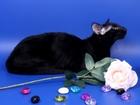 Смотреть изображение  Ждёт невесту на вязку Ориентальный кот 64242985 в Москве