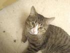 Просмотреть изображение  Кот ищет кошку для вязки с любой породой кошки 67694487 в Москве