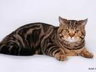 Скачать бесплатно изображение Вязка кошек Шотландский прямоухий кот на вязку 67896643 в Москве