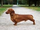 Скачать бесплатно изображение Вязка собак Вязка с Гранд Чемпионом России 68156763 в Москве