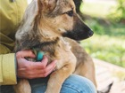 Свежее foto  Очаровательный щенок Кнопа в добрые руки, 68237130 в Москве