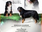 Новое foto Вязка собак Кобель для вязки, Бернский зенненхунд, 68245193 в Москве